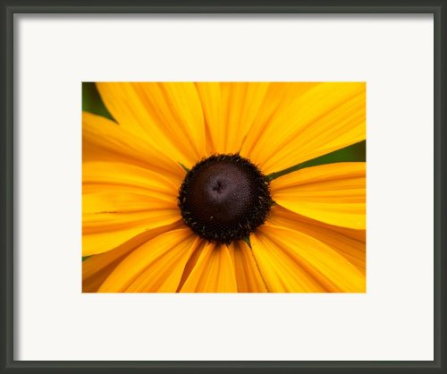 Goldilocks Gloriosa Daisy 2 Framed Print By Jouko Lehto