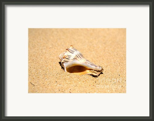 Whelk Sea Shell Framed Print By Cheryl Young