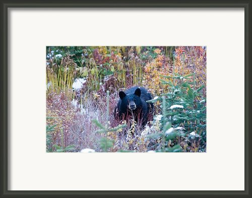 A Black Bear Looks Out Of A Forest Framed Print By Taylor S. Kennedy