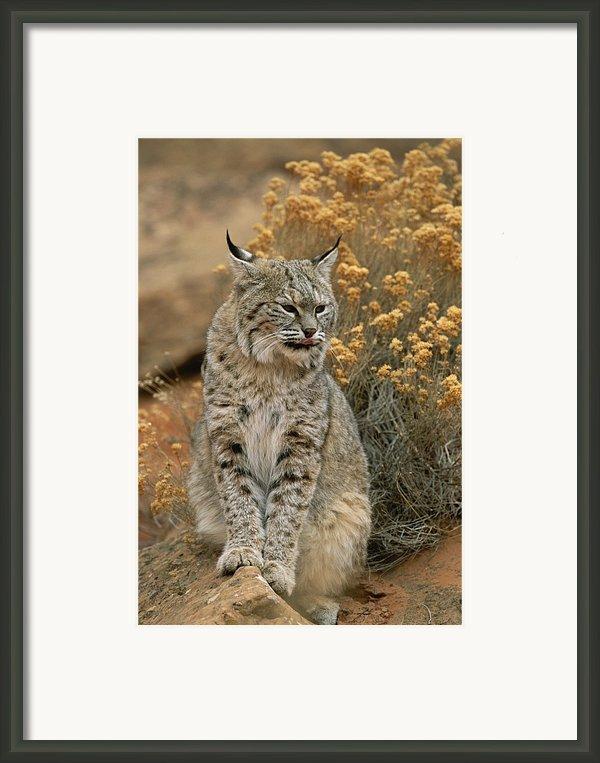 A Bobcat Framed Print By Norbert Rosing