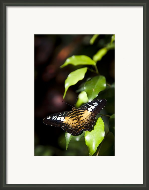 A Butterfly Perches On A Leaf Framed Print By Taylor S. Kennedy