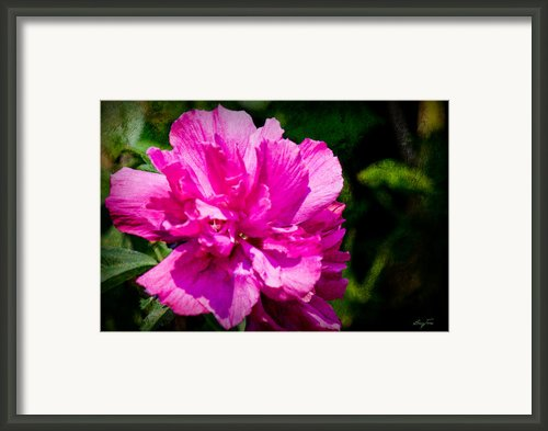 Althea Blossom Framed Print By Barry Jones