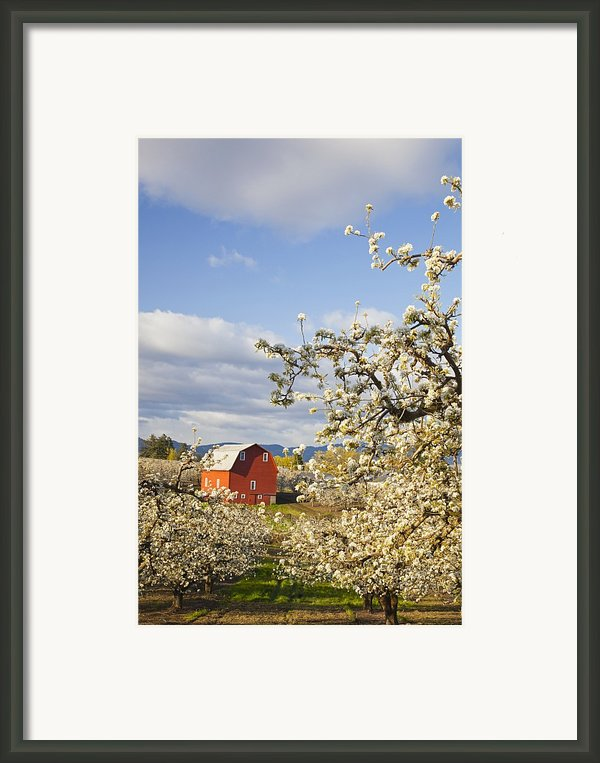 Apple Blossom Trees And A Red Barn In Framed Print By Craig Tuttle