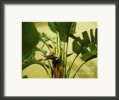 Banana Tree Framed Print By Susanne Van Hulst