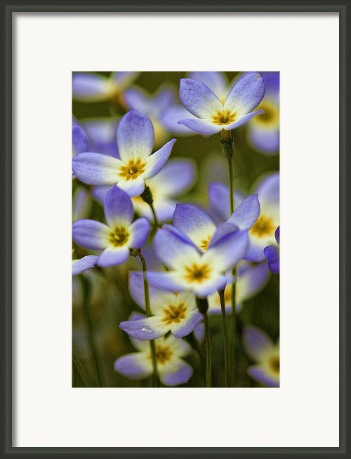 Blue Quaker Ladies Framed Print By Thomas J Martin