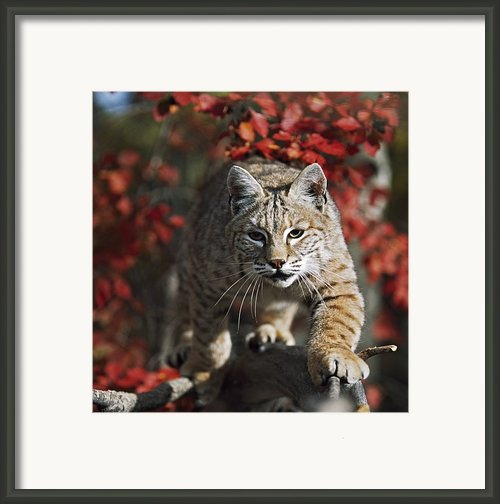 Bobcat Felis Rufus Walks Along Branch Framed Print By David Ponton