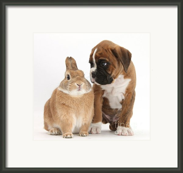Boxer Puppy And Netherland-cross Rabbit Framed Print By Mark Taylor
