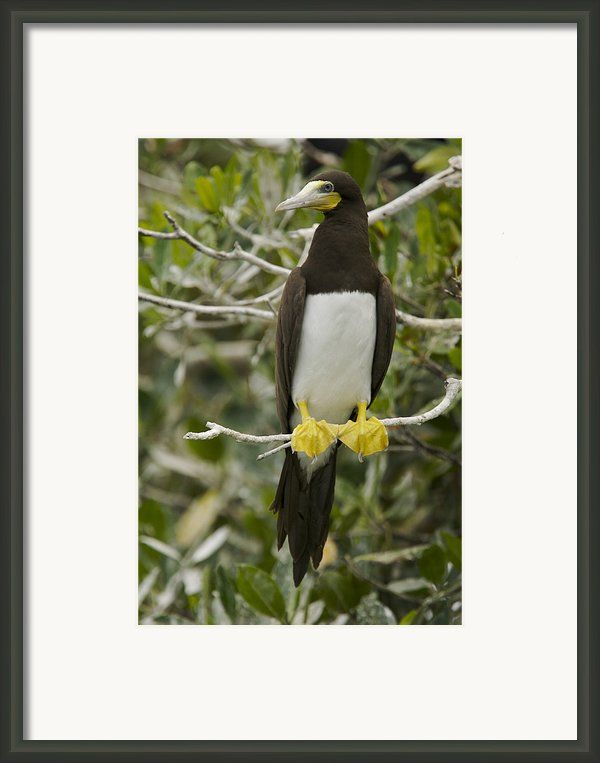 Brown Booby, Sula Leucogaster Framed Print By Tim Laman