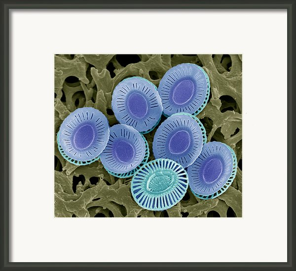 Calcareous Phytoplankton Plates, Sem Framed Print By Steve Gschmeissner