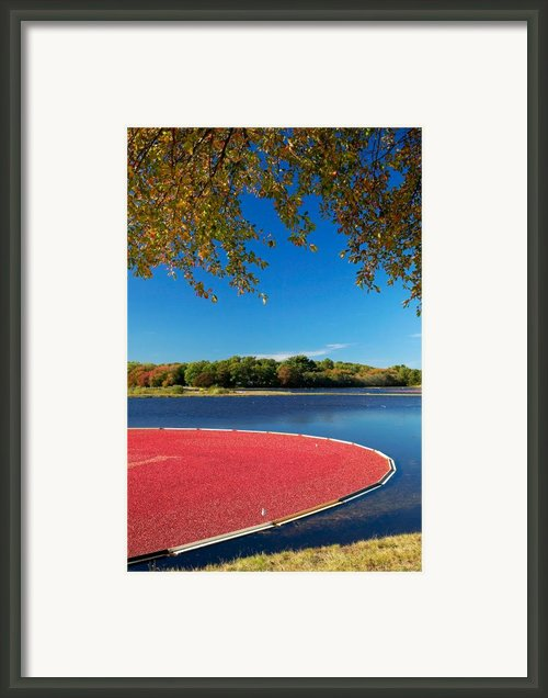 Cape Cod Cranberry Bog Framed Print By Matt Suess