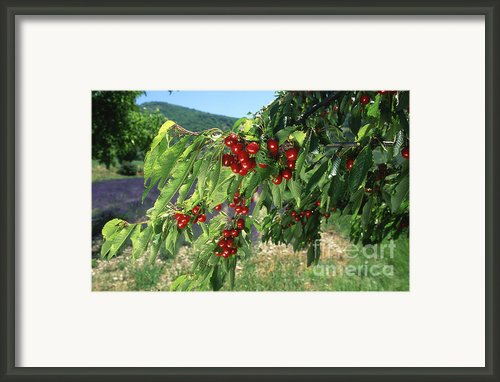 Cherry Tree Framed Print By Bernard Jaubert