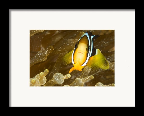 Clarks Anemonefish Among An Anemones Framed Print By Tim Laman