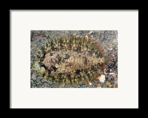 Common Topknot Framed Print By Dr Keith Wheeler