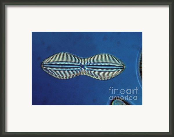 Diatom - Diploneis Crabro Framed Print By Eric V. Grave