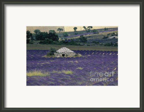 Field Of Lavender. Sault Framed Print By Bernard Jaubert