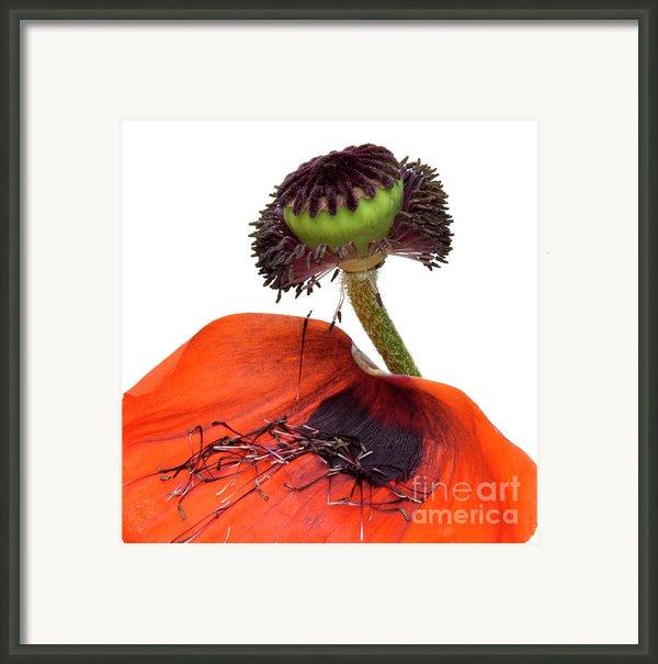 Flower Poppy In Studio Framed Print By Bernard Jaubert