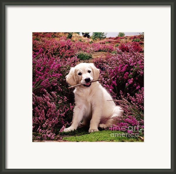 Golden Retriever Puppy Framed Print By Jane Burton