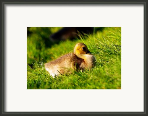 Gosling In Spring Framed Print By Paul Ge