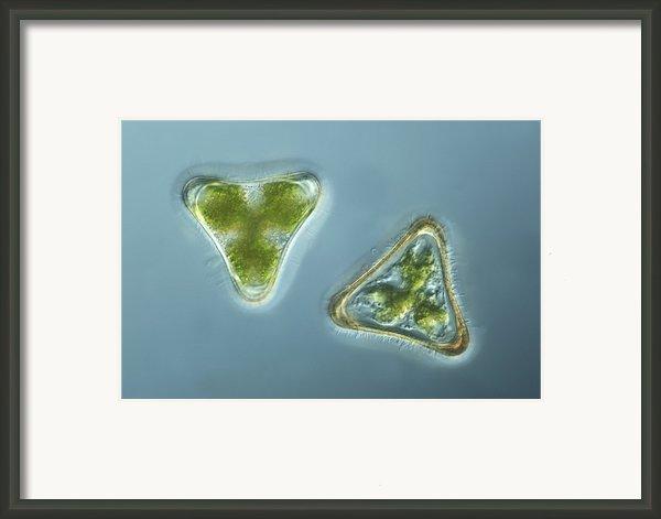 Green Algae, Light Micrograph Framed Print By Frank Fox