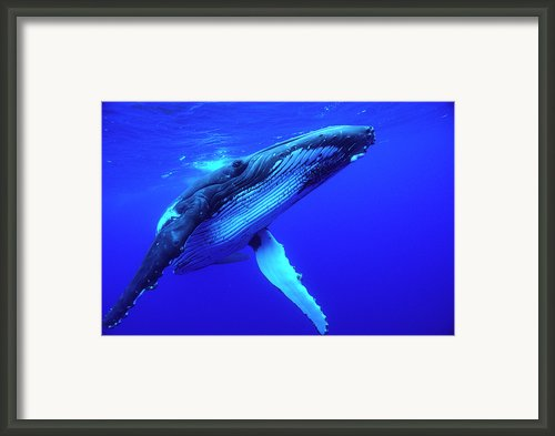 Humpback Whale Megaptera Novaeangliae Framed Print By Mike Parry