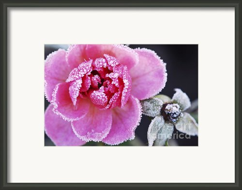 Icy Rose Framed Print By Elena Elisseeva