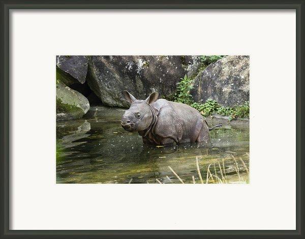 Indian Rhinoceros Rhinoceros Unicornis Framed Print By Konrad Wothe