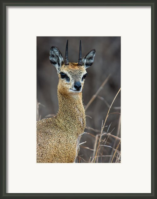 Klipspringer Portrait Framed Print By Hein Welman