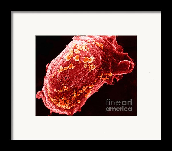 Lymphocyte With Hiv Cluster Framed Print By Science Source