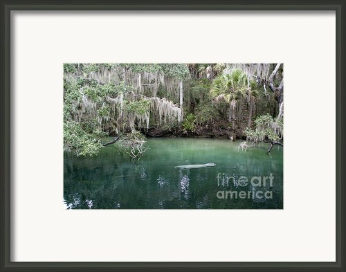 Manatee Zone Framed Print By Ted Petrovits