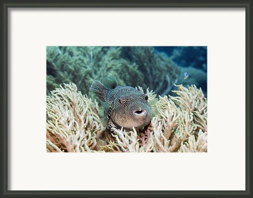 Map Pufferfish Framed Print By Georgette Douwma