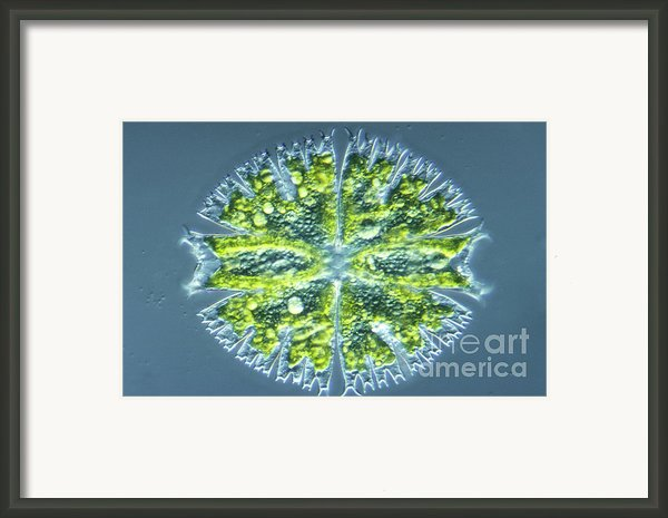 Micrasterias Sp Framed Print By M. I. Walker