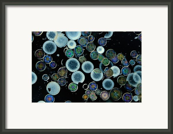 Microscopic View Of Diatoms Framed Print By Darlyne A. Murawski