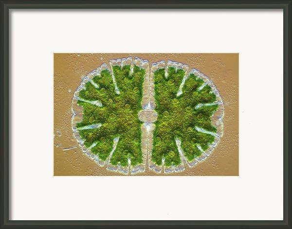 Microsterias Green Alga, Light Micrograph Framed Print By Frank Fox