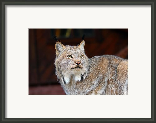 North American Lynx Framed Print By Paul Fell