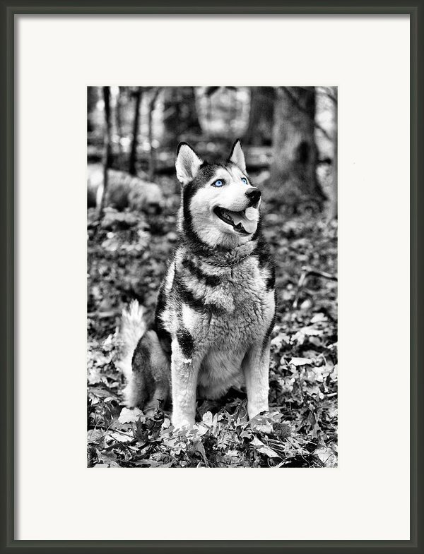 Ole Blue Eyes Framed Print By Jc Findley