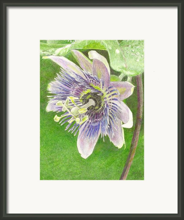 Passiflora Alatocaerulea Framed Print By Steve Asbell