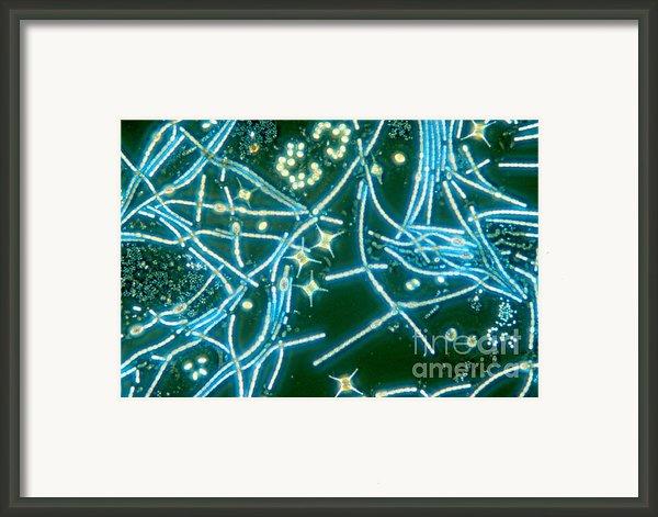 Phytoplankton Framed Print By M. I. Walker