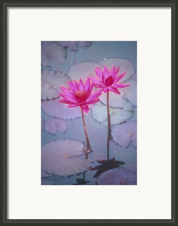 Pink Lily Blossom Framed Print By Ron Dahlquist - Printscapes
