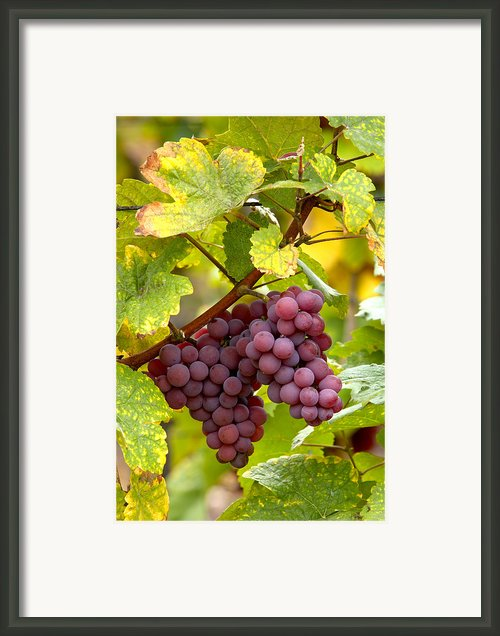 Pinot Noir Grapes Framed Print By Jeremy Walker