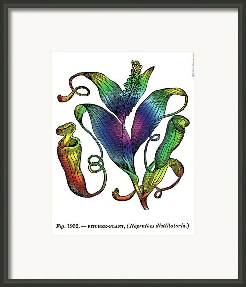 Pitcher Plant Framed Print By Eric Edelman