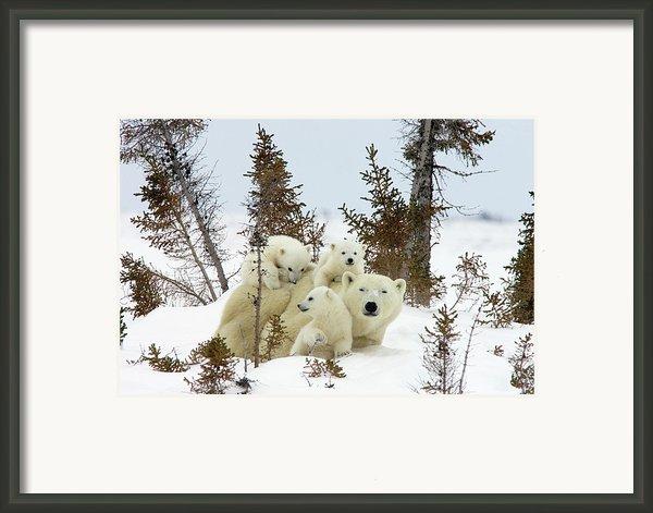 Polar Bear Ursus Maritimus Trio Framed Print By Matthias Breiter