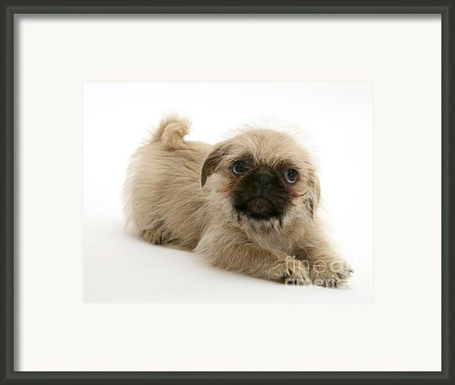Pugzu And Pug Puppies Framed Print By Jane Burton