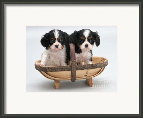 Puppies In A Trug Framed Print By Jane Burton