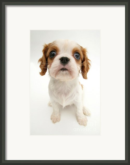 Puppy Framed Print By Jane Burton
