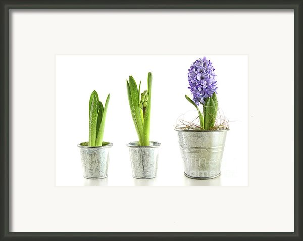 Purple Hyacinth In Garden Pots On White Framed Print By Sandra Cunningham