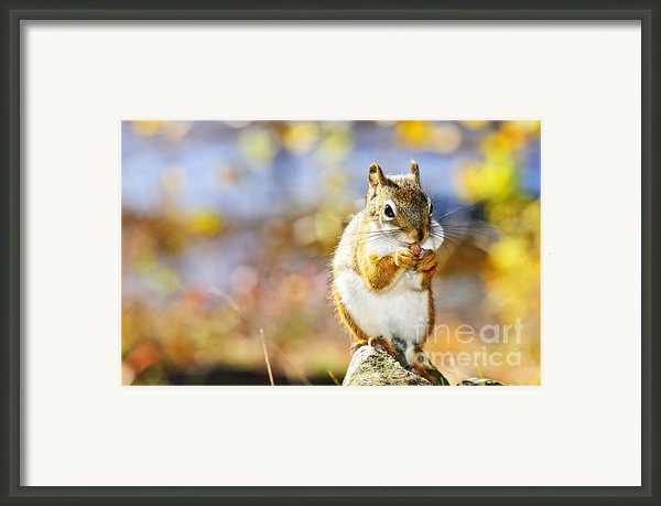 Red Squirrel Framed Print By Elena Elisseeva