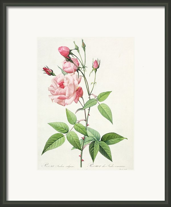 Rosa Indica Vulgaris Framed Print By Pierre Joseph Redoute