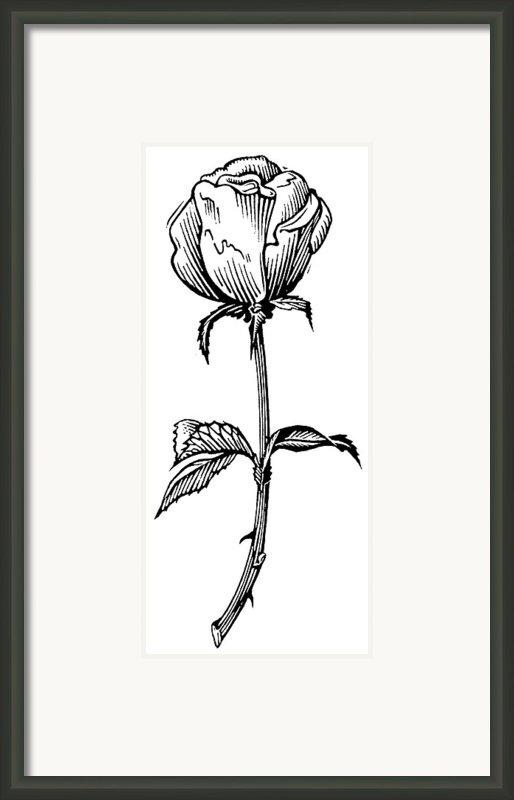 Rose, Lino Print Framed Print By Gary Hincks