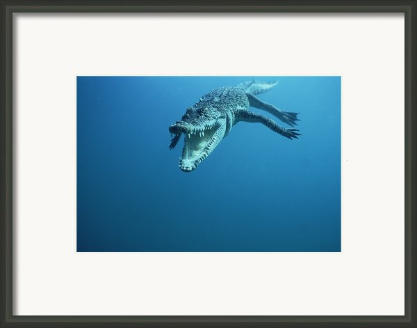 Saltwater Crocodile Crocodylus Porosus Framed Print By Mike Parry