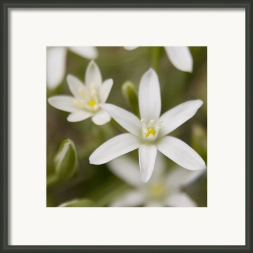 Star Of Bethlehem Framed Print By Margaret Denny